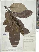 view Gmelina brassii Moldenke digital asset number 1
