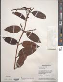 view Phthirusa rufa (Mart.) Eichler digital asset number 1