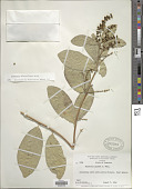 view Bunchosia palmeri S. Watson digital asset number 1