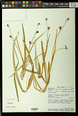 view Hesperantha palustris Goldblatt & J.C. Manning digital asset number 1