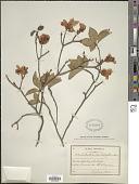 view Rhododendron pentaphyllum Maxim. digital asset number 1