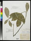 view Cola heterophylla (P. Beauv.) Schott & Endl. digital asset number 1