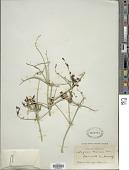 view Scutellaria mexicana (Torr.) A.J. Paton digital asset number 1