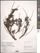 view Acaena elongata L. digital asset number 1