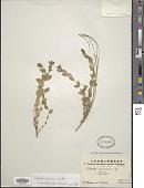 view Polygala japonica Houtt. digital asset number 1
