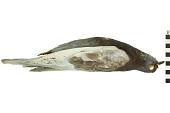 view Rock Pigeon, Common Pigeon, Rock Dove digital asset number 1