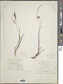 view Carex flacca Schreb. digital asset number 1