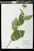 view Telekia speciosa (Schreb.) Baumg. digital asset number 1