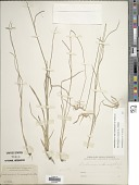 view Rhynchospora colorata (L.) H. Pfeiff. digital asset number 1