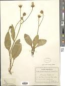 view Hieracium lanatum Vill. digital asset number 1