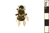 view Common Eastern Bumble Bee digital asset number 1