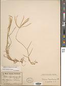 view Chloris halophila var. halophila digital asset number 1