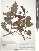 view Guarea macrophylla subsp. pachycarpa Vahl digital asset number 1