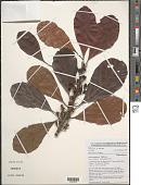 view Uapaca guineensis Müll. Arg. digital asset number 1