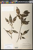 view Solanum arrazolense J.M. Coult. & Donn. Sm. digital asset number 1