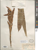 view Lutheria splendens var. formosa (Suringar ex Witte) Barfuss & W. Till digital asset number 1