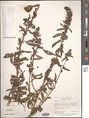 view Castilleja arvensis Schltdl. & Cham. digital asset number 1