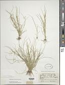 view Rhynchospora contracta (Nees) J. Raynal digital asset number 1