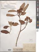 view Photinia lindleyana Wight & Arn. digital asset number 1
