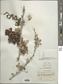 view Pithecellobium unguis-cati (L.) Benth. digital asset number 1