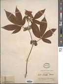 view Rubus lineatus Reinw. digital asset number 1