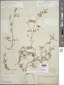 view Vicia minutiflora D. Dietr. digital asset number 1