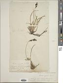 view Carex bigelowii Torr. ex Schwein. subsp. bigelowii digital asset number 1