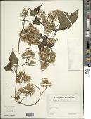 view Mikania vitifolia DC. digital asset number 1