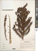 view Hechtia ixtlanensis Burt-Utley digital asset number 1