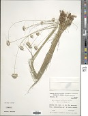 view Rhynchospora patuligluma C.B. Clarke ex Lindm. digital asset number 1