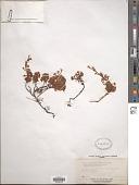 view Luetkea pectinata (Pursh) Kuntze digital asset number 1