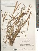 view Axonopus brasiliensis Kuhlm. digital asset number 1