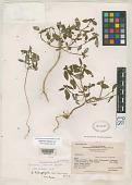 view Poinsettia inornata Dressler digital asset number 1