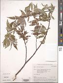view Salix rorida Laksch. digital asset number 1