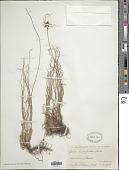 view Cyperus amauropus Steud. digital asset number 1