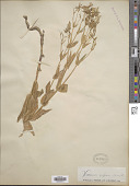 view Vaccaria vaccaria (L.) Britton digital asset number 1