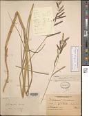 view Paspalum hartwegianum E. Fourn. digital asset number 1