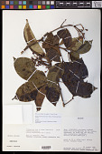 view Billia rosea (Planch. & B.L. Linden) C. Ulloa & P. Jørg. digital asset number 1
