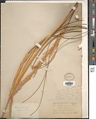 view Sporobolus rigens (Trin.) É. Desv. digital asset number 1