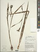 view Alophia drummondii (Graham) R.C. Foster digital asset number 1