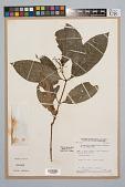 view Palicourea racemosa (Aubl.) Borhidi digital asset number 1