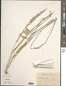 view Tridens albescens Wooton & Standl. digital asset number 1