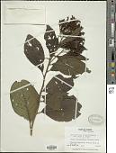 view Tournefortia hirsutissima L. digital asset number 1