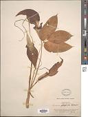 view Arisaema filiforme (Reinw.) Blume digital asset number 1