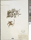 view Clianthus puniceus digital asset number 1