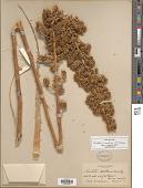 view Hechtia montana Brandegee digital asset number 1