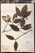 view Billia hippocastanum Peyr. digital asset number 1
