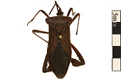 view Leaf-footed Bug, Squash Bug digital asset number 1