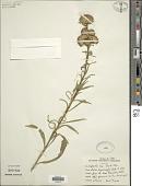 view Liatris ligulistylis (A. Nelson) K. Schum. digital asset number 1