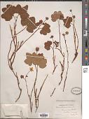 view Rubus chamaemorus L. digital asset number 1